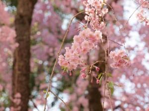 平安神宮の桜