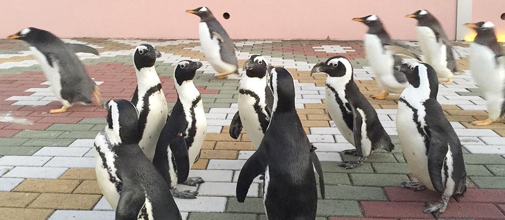 白浜アドベンチャーワールドのペンギンパレード