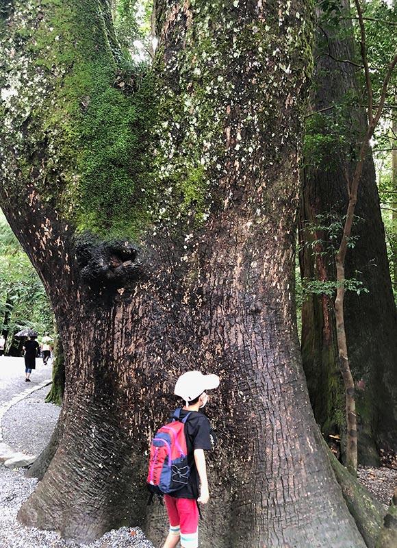 伊勢神宮の大木