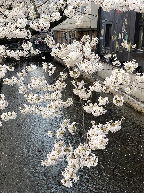 京都、木屋町沿い高瀬川の桜